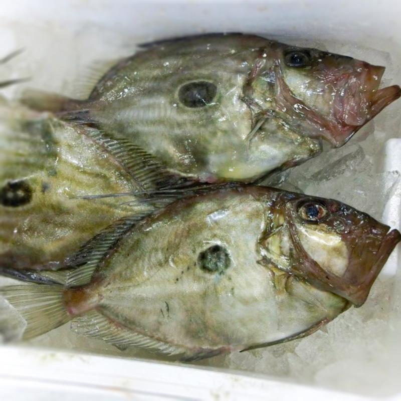 馬頭鯛(マトウダイ)