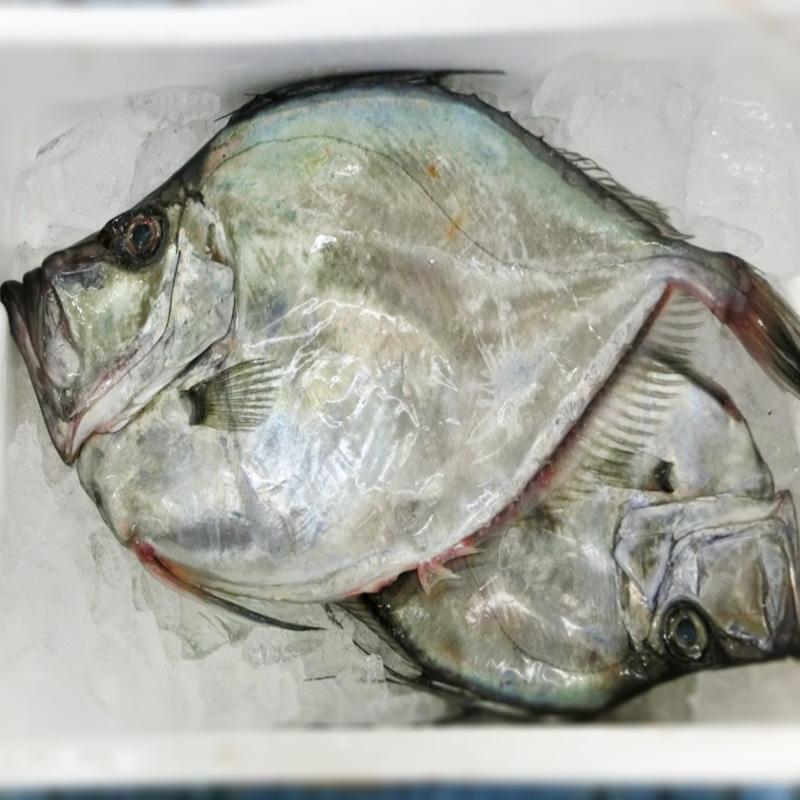 鏡鯛(カガミダイ)